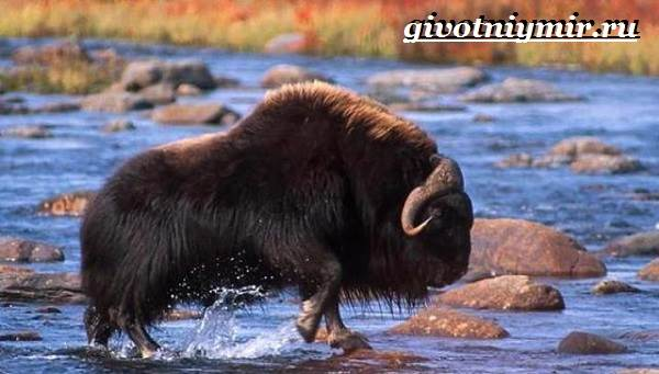 Овцебык-животное-Образ-жизни-и-среда-обитания-овцебыка-4
