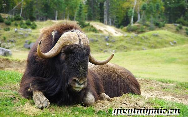 Овцебык-животное-Образ-жизни-и-среда-обитания-овцебыка-5