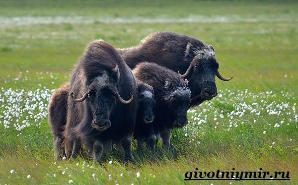 Овцебык-животное-Образ-жизни-и-среда-обитания-овцебыка-6