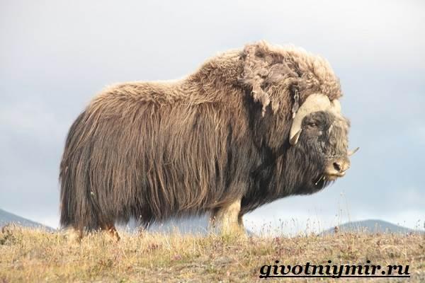 Овцебык-животное-Образ-жизни-и-среда-обитания-овцебыка-8