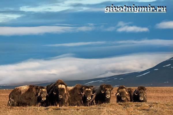 Овцебык-животное-Образ-жизни-и-среда-обитания-овцебыка-9