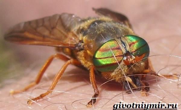 Овод-насекомое-Образ-жизни-и-среда-обитания-овода-2