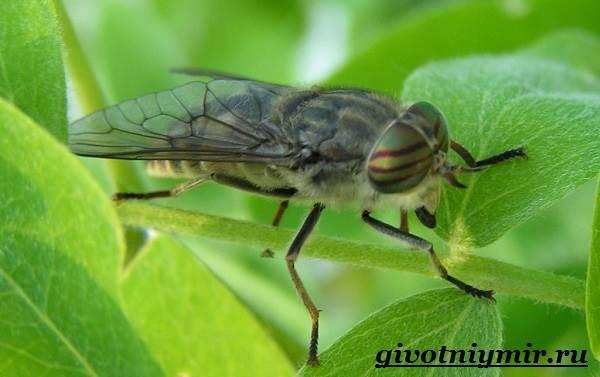 Овод-насекомое-Образ-жизни-и-среда-обитания-овода-3