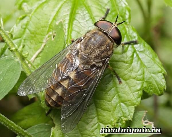 Овод-насекомое-Образ-жизни-и-среда-обитания-овода-6