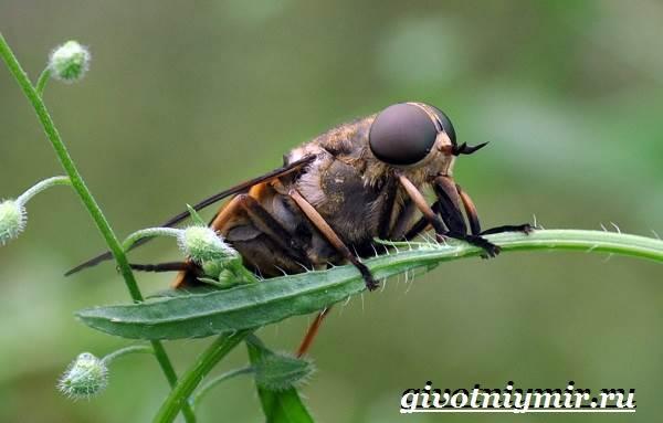 Овод-насекомое-Образ-жизни-и-среда-обитания-овода-8