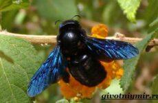Пчела плотник. Образ жизни и среда обитания пчелы-плотника