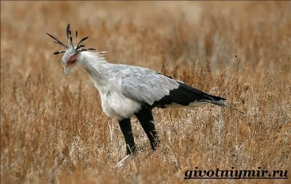 Птица-секретарь-Образ-жизни-и-среда-обитания-птицы-секретарь-2