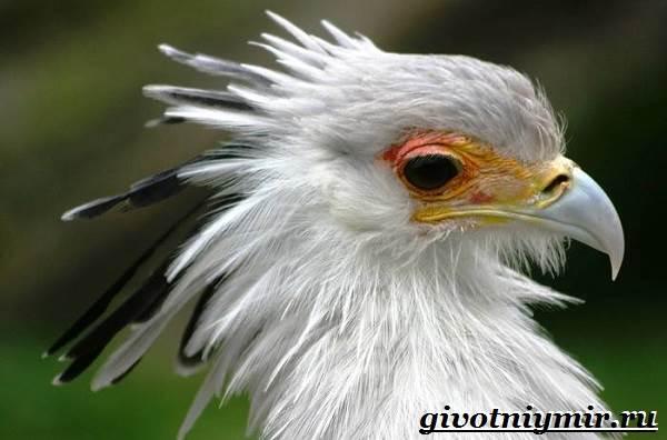 Птица-секретарь-Образ-жизни-и-среда-обитания-птицы-секретарь-3