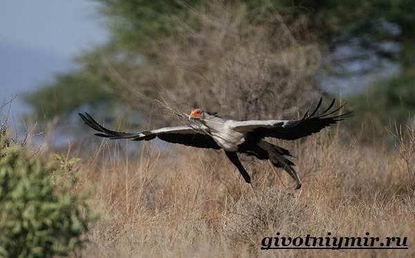 Птица-секретарь-Образ-жизни-и-среда-обитания-птицы-секретарь-4