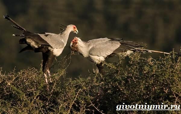 Птица-секретарь-Образ-жизни-и-среда-обитания-птицы-секретарь-5