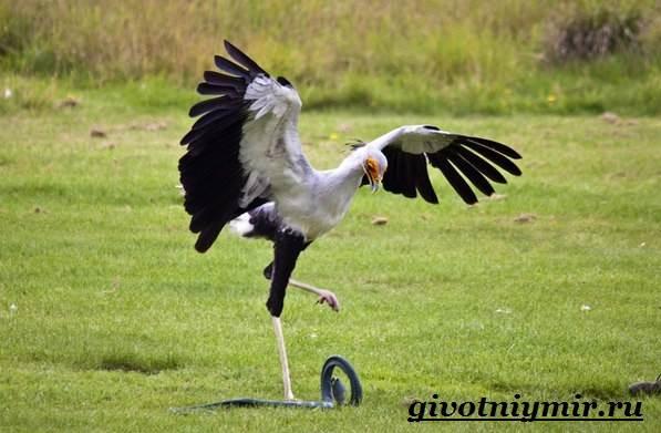 Птица-секретарь-Образ-жизни-и-среда-обитания-птицы-секретарь-6