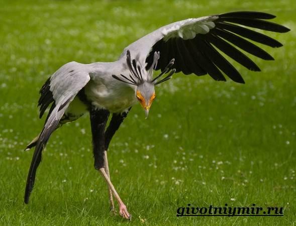 Птица-секретарь-Образ-жизни-и-среда-обитания-птицы-секретарь-7