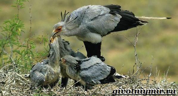 Птица-секретарь-Образ-жизни-и-среда-обитания-птицы-секретарь-8