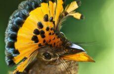 Райская птица. Образ жизни и среда обитания райской птицы
