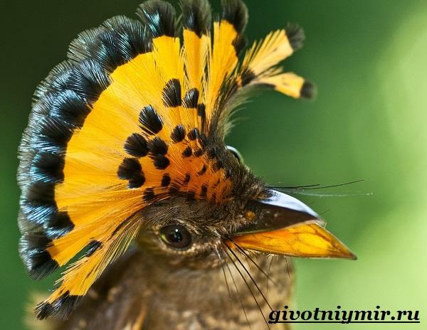 Райская-птица-Образ-жизни-и-среда-обитания-райской-птицы-1
