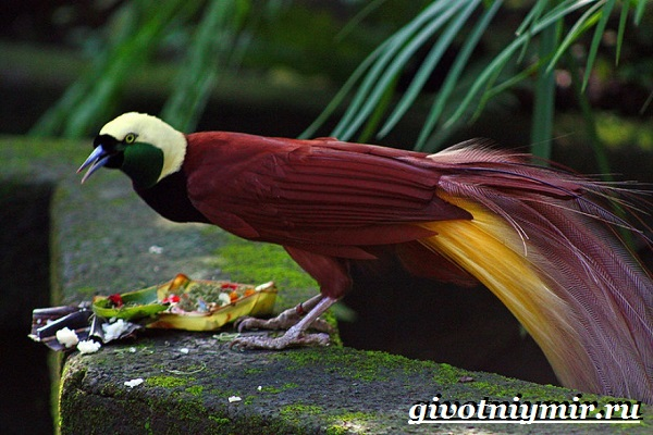 Райская-птица-Образ-жизни-и-среда-обитания-райской-птицы-2