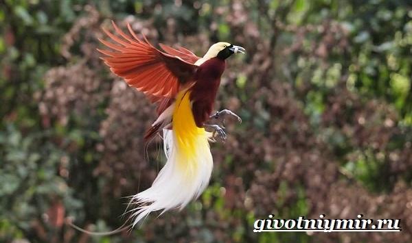 Райская-птица-Образ-жизни-и-среда-обитания-райской-птицы-3
