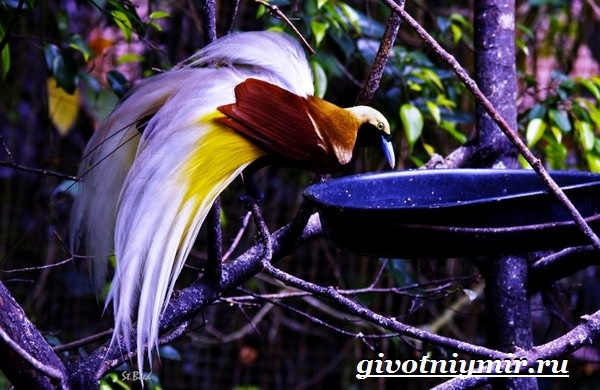Райская-птица-Образ-жизни-и-среда-обитания-райской-птицы-4