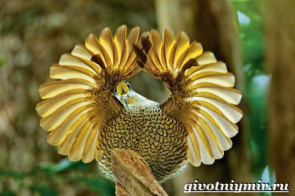 Райская-птица-Образ-жизни-и-среда-обитания-райской-птицы-7