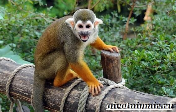 Саймири-обезьяна-Образ-жизни-и-среда-обитания-саймири-1