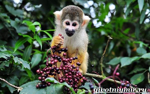 Саймири-обезьяна-Образ-жизни-и-среда-обитания-саймири-10