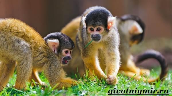 Саймири-обезьяна-Образ-жизни-и-среда-обитания-саймири-2