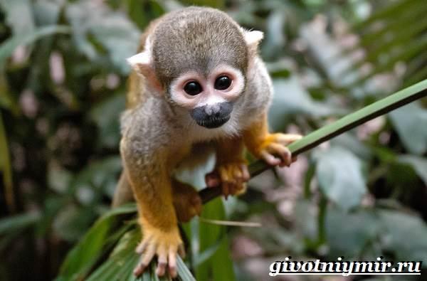 Саймири-обезьяна-Образ-жизни-и-среда-обитания-саймири-4