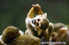 Саймири обезьяна. Образ жизни и среда обитания саймири