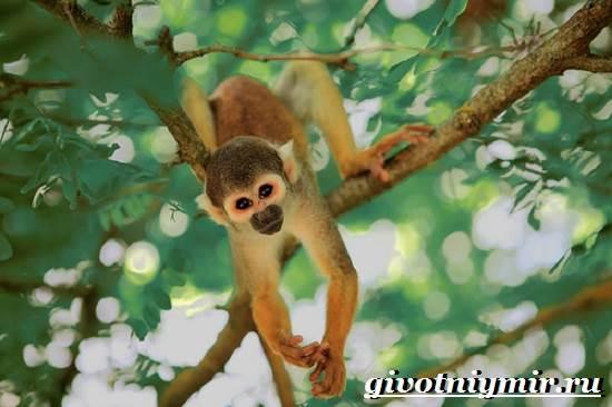 Саймири-обезьяна-Образ-жизни-и-среда-обитания-саймири-6