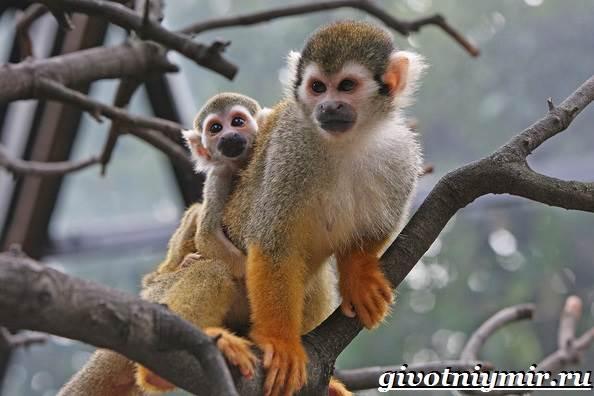 Саймири-обезьяна-Образ-жизни-и-среда-обитания-саймири-7