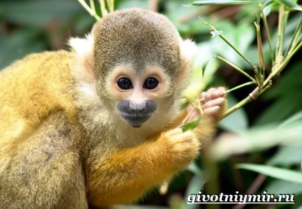 Саймири-обезьяна-Образ-жизни-и-среда-обитания-саймири-8