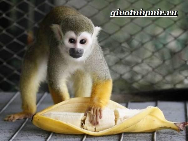 Саймири-обезьяна-Образ-жизни-и-среда-обитания-саймири-9