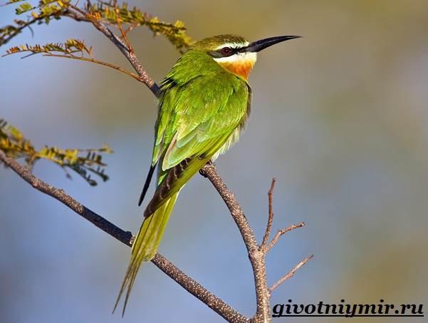 Щурка-птица-Образ-жизни-и-среда-обитания-щурки-3