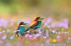 Щурка птица. Образ жизни и среда обитания щурки