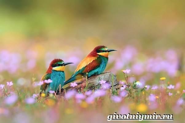 Щурка-птица-Образ-жизни-и-среда-обитания-щурки-4