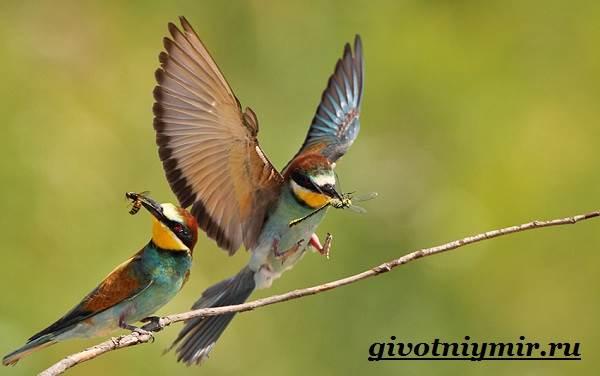 Щурка-птица-Образ-жизни-и-среда-обитания-щурки-5