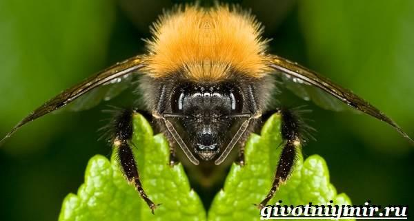 Шмель-насекомое-Образ-жизни-и-среда-обитания-шмеля-3