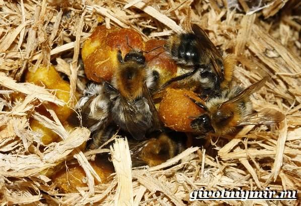 Шмель-насекомое-Образ-жизни-и-среда-обитания-шмеля-4
