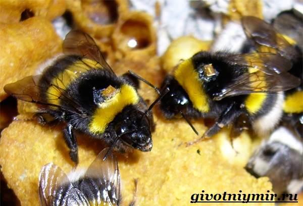 Шмель-насекомое-Образ-жизни-и-среда-обитания-шмеля-5