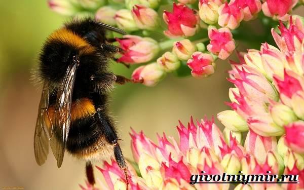 Шмель-насекомое-Образ-жизни-и-среда-обитания-шмеля-6