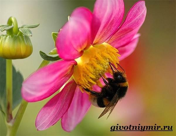 Шмель-насекомое-Образ-жизни-и-среда-обитания-шмеля-9