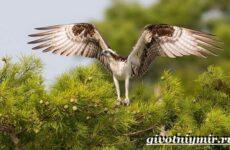 Скопа птица. Образ жизни и среда обитания птицы скопы