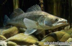 Судак рыба. Образ жизни и среда обитания судака