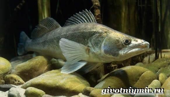 Судак-рыба-Образ-жизни-и-среда-обитания-судака-3