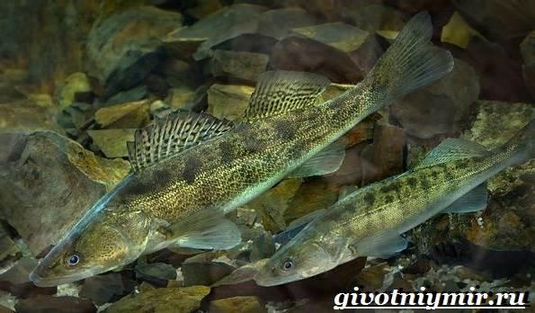 Судак-рыба-Образ-жизни-и-среда-обитания-судака-4