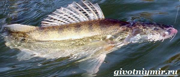 Судак-рыба-Образ-жизни-и-среда-обитания-судака-6