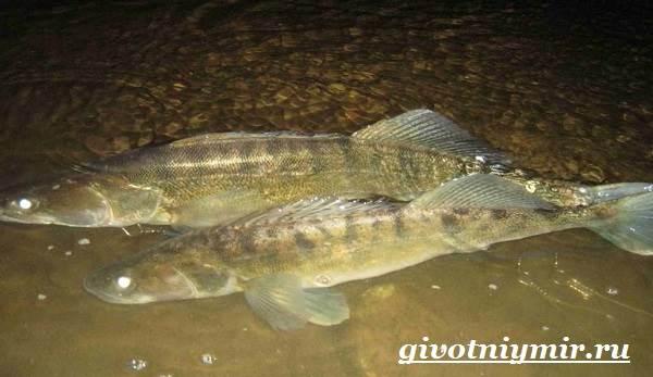 Судак-рыба-Образ-жизни-и-среда-обитания-судака-8