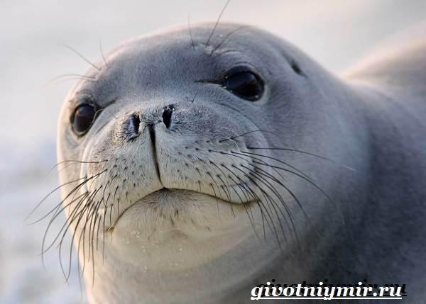 Тюлень-животное-Образ-жизни-и-среда-обитания-тюленя-1