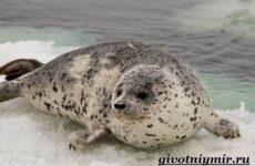 Тюлень животное. Образ жизни и среда обитания тюленя