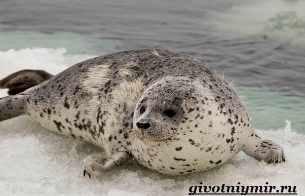 Тюлень-животное-Образ-жизни-и-среда-обитания-тюленя-3